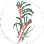 Kangaroo paw 1 Single 90mm